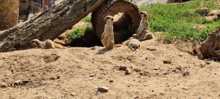 Erdmännchen im Zoo Dresden
