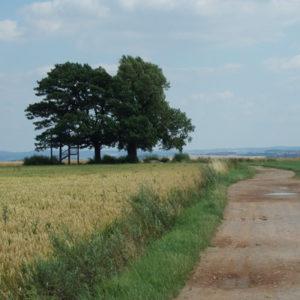 Babisnauer Pappel südöstlich von Dresden