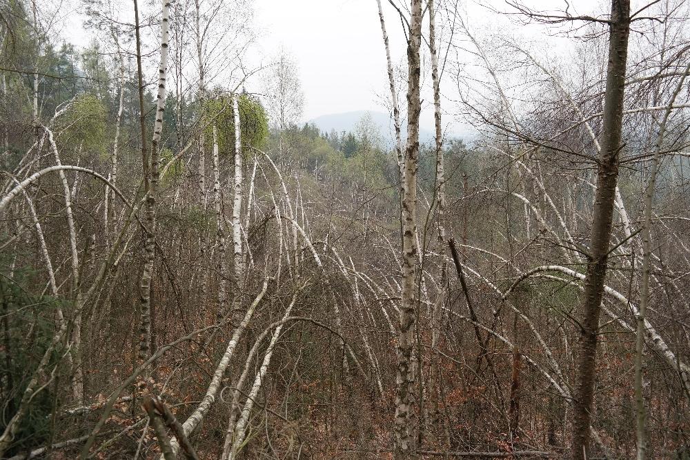 Bizarrer Birkenwald in der Sächsischen Schweiz