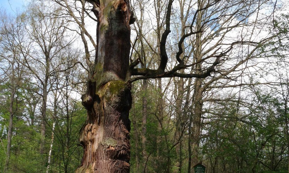 Babisnauer Pappel – Aussichtspunkt und Naturdenkmal