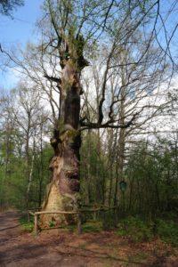 Naturdenkmal 700jährige Eichen im Sauerbusch