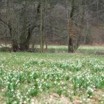 Es ist so weit! Die Märzenbecherwiesen blühen im Polenztal