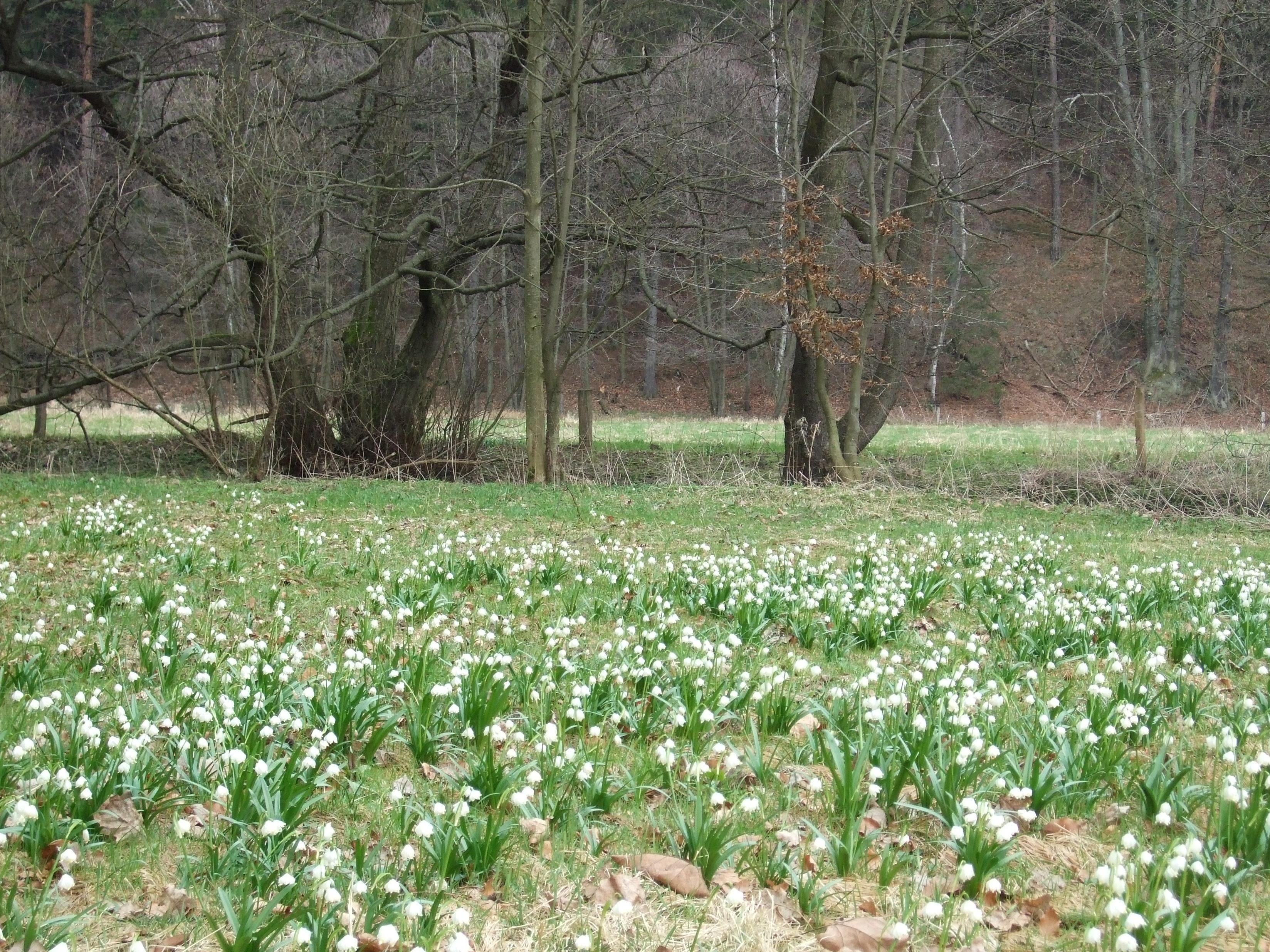 Märzenbecherwiesen im Polenztal