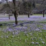 Bei den Nackten Jungfern - Die Krokuswiesen in Drebach
