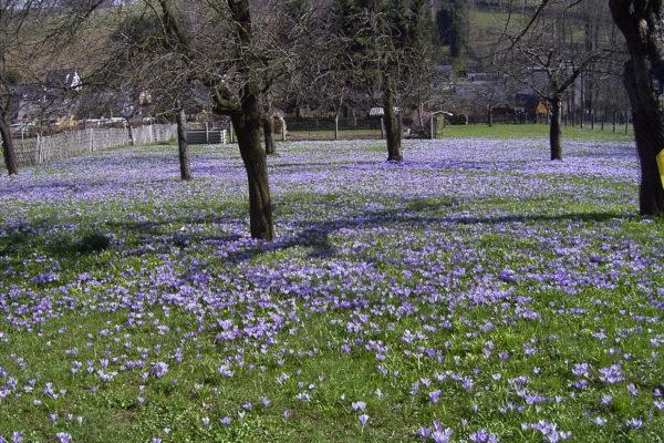 Krokuswiesen in Drebach