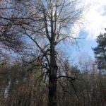 Babisnauer Pappel - Aussichtspunkt und Naturdenkmal