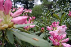 Rhododendren im Rhododendronpark Dresden-Wachwitz