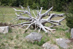Bizarre Wurzeln im Naturschutzgebiet