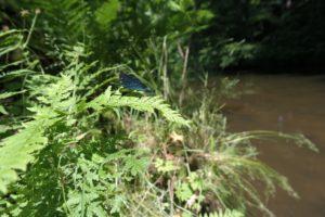 Libelle im Seifersdorfer Tal