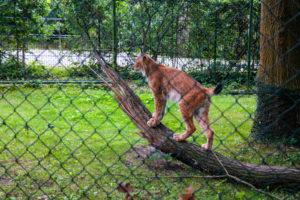 Luchs im Eilenburger Tierpark