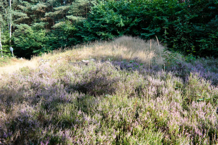 Heidekraut im Wermsdorfer Forst