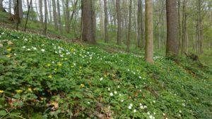 Frühlingswald in Großsedlitz