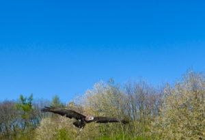 Flug eines Falken