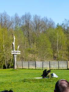 Seeadler beim Sturzflug